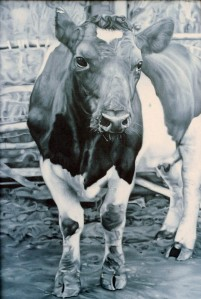 """Black and White Cow"" oil on canvas board, 1979.  My first photorealist attempt."