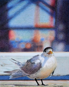 """""""Just Landed"""" portrait of a tern down at the port of Fremantle. 215 x 272 mm. Completed on 25th September 2013."""
