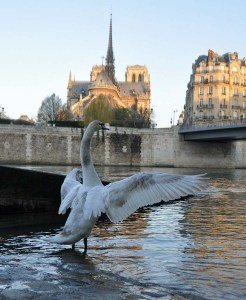 Swan, Seine and Notre Dame early in the morning.