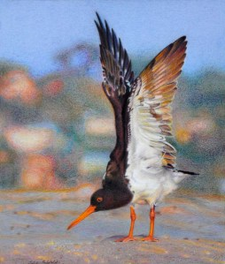 """Wings"" mixed media drawing. 285 x 335 mm. January 2014. A pied oystercatcher stretches on the sandbar at Point Walter."
