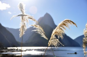 Milford Sound in the late afternoon. The peak is the famous and much-photographed Mitre Peak. The plant is Austroderia, commonly known as toetoe.