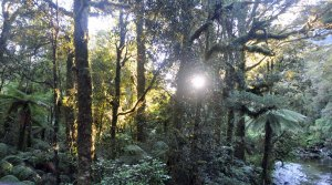 Early morning on the Milford Track with the sun poking through the beech forest.