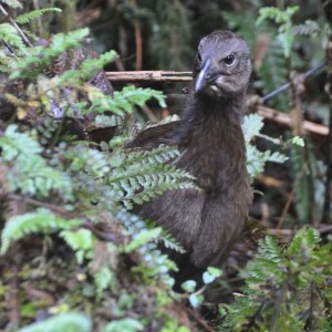 A weka on the Milford Track.