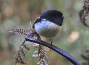 A male South Island Tomtit on the Milford Track.