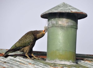 Keas will have a go at eating ANYTHING. They are especially known for attacking interesting textures on cars. Here one tests its beak on an old chimney.