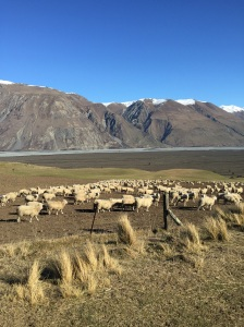 Matthew picked me up from Christchurch airport and we drove straight out to Lake Coleridge where we stayed overnight. View from Harper Road. Good old New Zealand SHEEP! (Their coats are much cleaner than Australian sheep.)