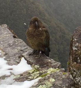 New Zealand's mountain parrot, the kea, at the viaduct lookout above Otira.