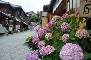 A street scene with hydrangeas.