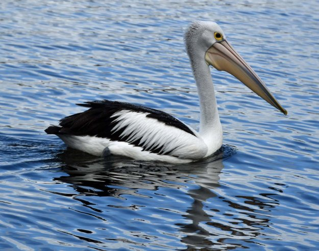Pelican at East Fremantle