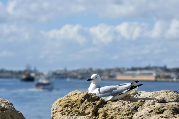 Silver gull with the port of Fremantle behind.
