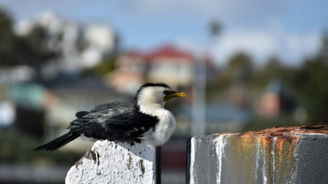 Cormorant at East Fremantle.
