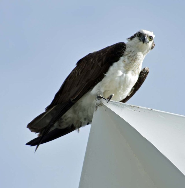 Osprey at the very top of the lighthouse at North Mole.