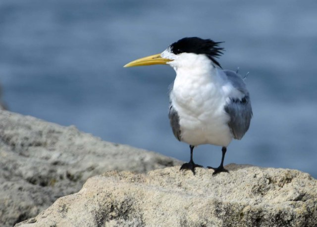 Crested tern at North Mole