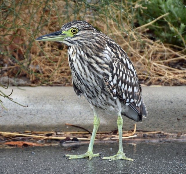 Close up and personal with a juvenile rufous (otherwise known as 'nankeen') night heron.