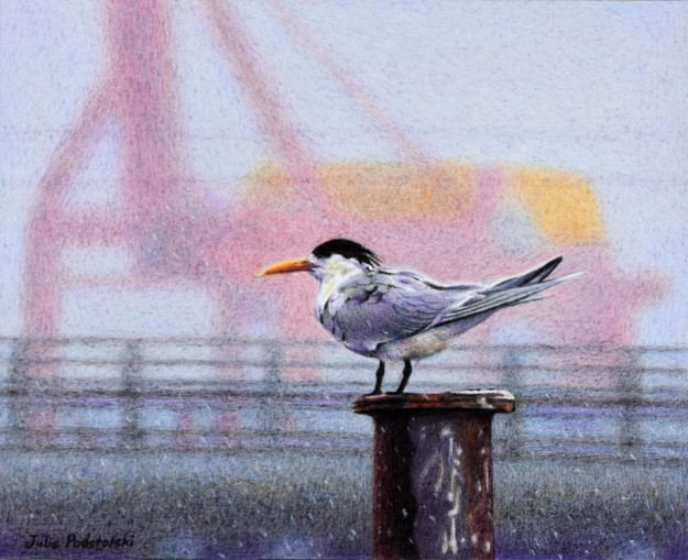 """Rain Bird"" a crested tern at Fremantle. 195 x 240 mm. January 2017."