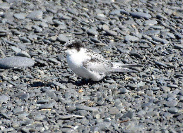 On the stones at Birdlings Flat is a young white-fronted tern.