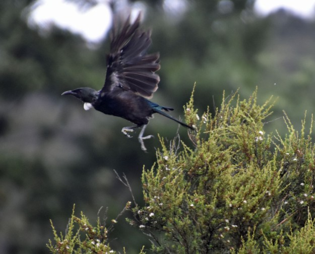 "At Waitati a tui leaps out of a bush. Tui have been called ""Parson Birds"" because of their white 'clerical' feathers at their throats."