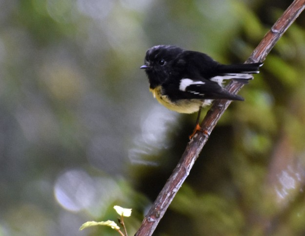 Another tiny little forest bird is the South Island tomtit...there one second, gone the next.