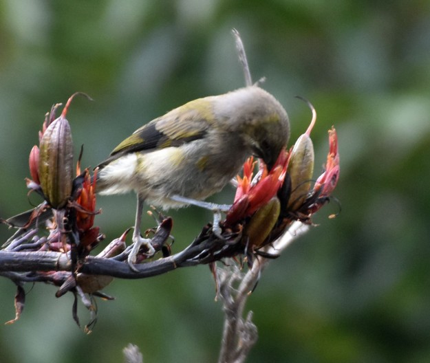 A New Zealand bellbird feeds from a flowering flax bush. This bird has such a beautiful song.