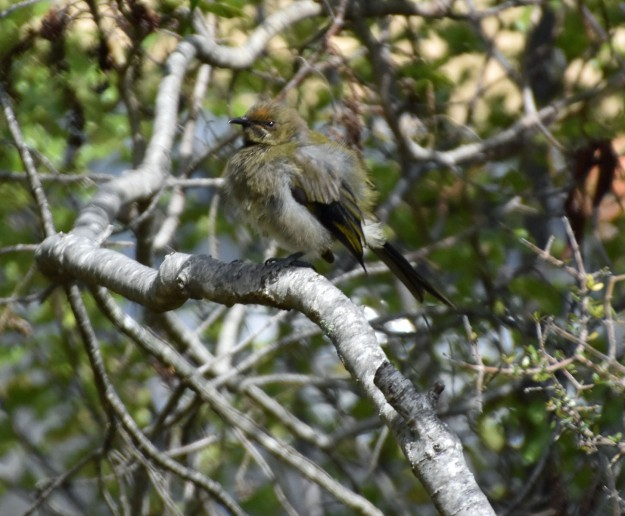 New Zealand birds are often hard to see. They are shy and well camoflagued.