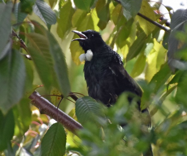 Tui are the most excellent singers in the bird world. They pick up the sounds they hear and incorporate them into their complicated repertoire. I stood still and listened to this tui for several minutes.