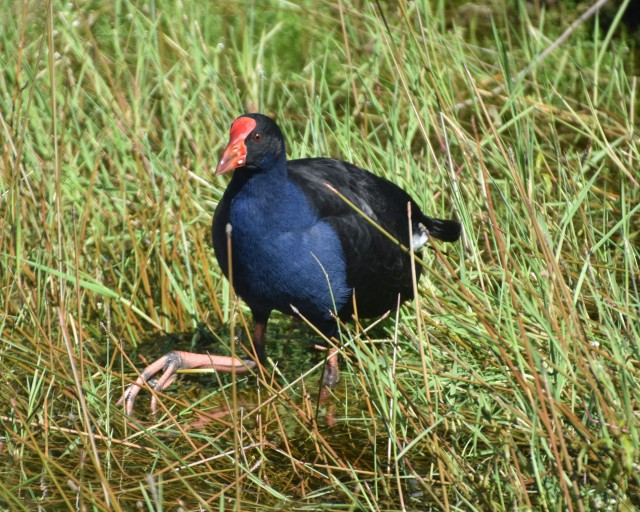 Matt and I noticed that the pukeko used its feet in the gathering of food.