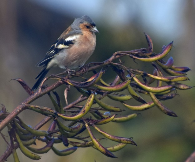 The chaffinch is an introduced bird, brought over from Europe in the 1860s.