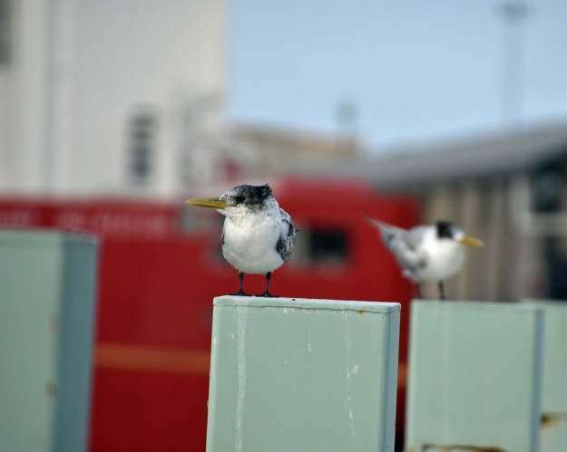 A couple of crested terns down at the port, photographed a few hours ago.